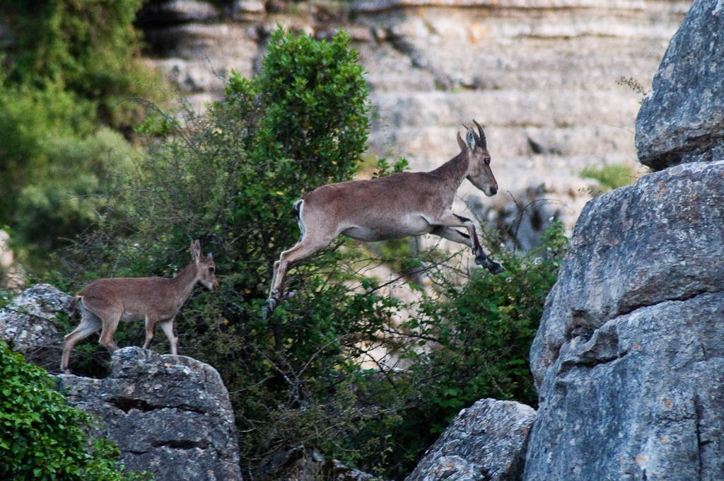 Wild goats at El Torcal National Park in Andalucia