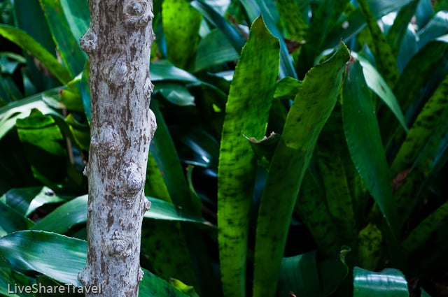 Bark of a coffea arabica, botanical gardens, Puerto de la Cruz, Tenerife