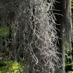 Beard on a bald cypress, botanical gardens, Puerto de la Cruz, Tenerife