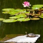 Beauty and the beast - waterlilies and a terrapin bask in the sunshine at the Jardin Botanico, Tenerife