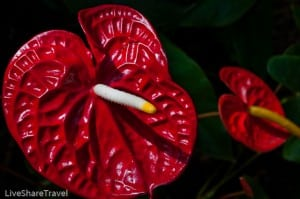 Deep red anthuriums at Puerto de la Cruz's botanical gardens