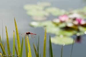 Dragonfly rests before some water lilies at the botanical gardens in Tenerife's Puerto de la Cruz