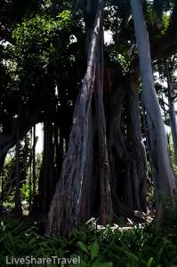 Ficus macrophylla or Moreton Bay Fig tree, botanical gardens, Puerto de la Cruz