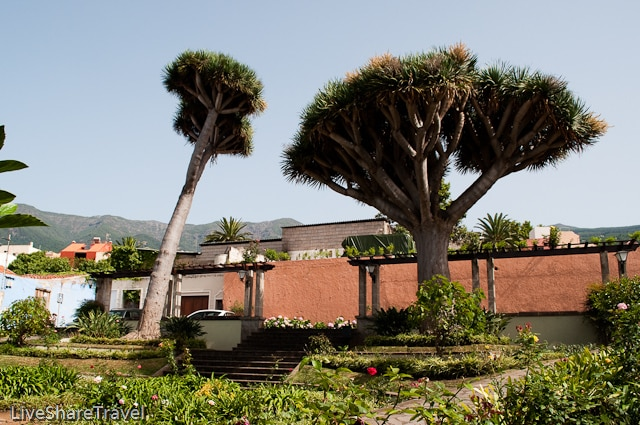 Indiginous drago trees in Plaza de San Francisco, La Orotava, Tenerife.