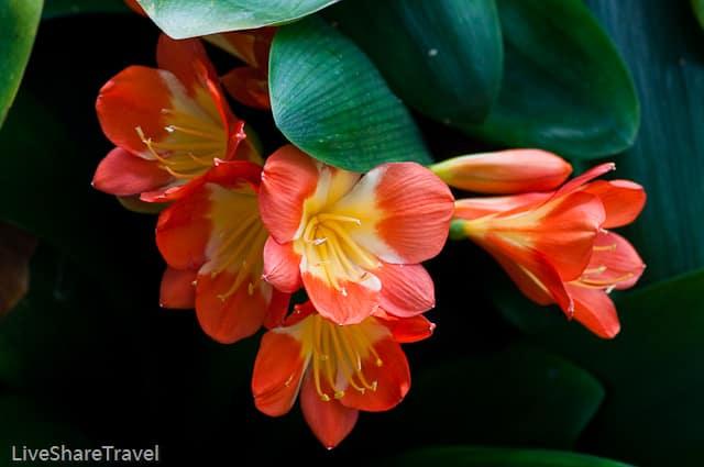 Orange amaryllis at Puerto de la Cruz's botanical gardens