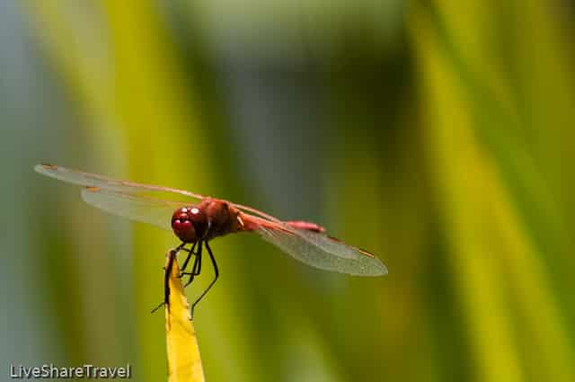 Red dragonfly in the water gardens of Puerto de la Cruz's botanical gardens