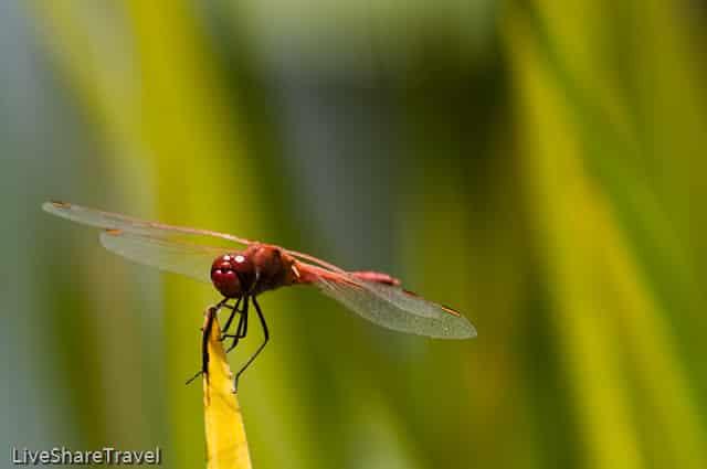 Red dragonfly in the water gardens of Puerto de la Cruz's botanical gardens