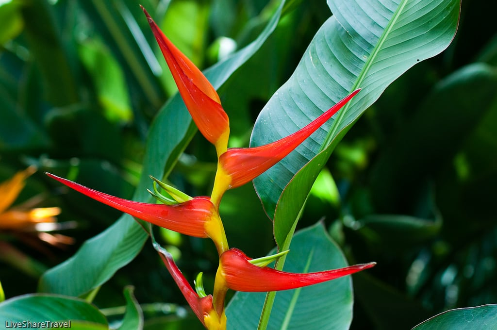 Tenerife's Jardin Botanico (botanical gardens) in Puerto de la Cruz are home to thousands of tropical plants like this heliconia latisphathia