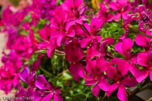 Vibrant flowers in the gardens at Club Casablanca a timeshare resort in north Tenerife