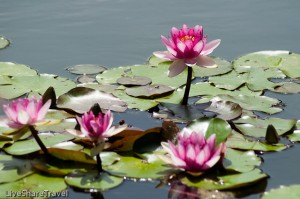 Water lilies, botanical gardens in Puerto de la Cruz, Tenerife