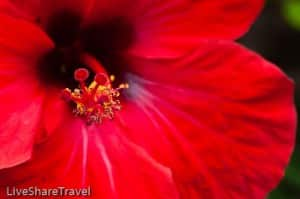 Hibiscus captured in Garachico, one of northern Tenerife's delights