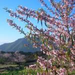 Almond blossom in Santiago del Teide, Tenerife