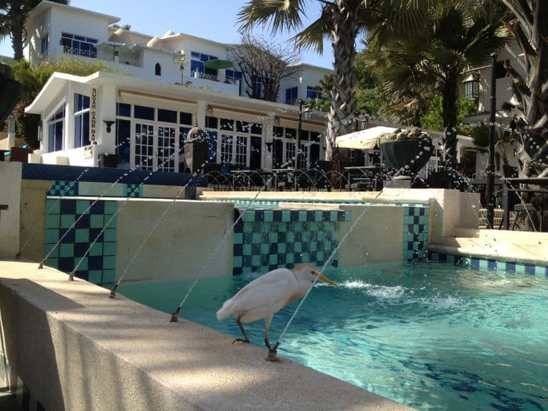 Egret takes a dip at Coco Ocean's Courtyard