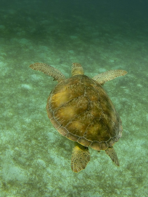 Follow that turtle, Tobago Cays, St Vincent and The Grenadines