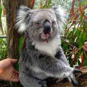 Koala bear during my South East Touring Triangle
