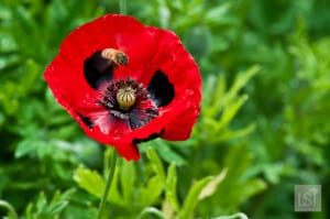 Bee hovvering over a poppy at Heronswood Gardens