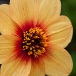 Flower at Heronswood in Mornington Peninsula