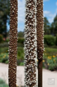 Flower pods at the Royal Botanic Gardens Cranbourne
