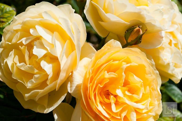 Roses at Morning Star Estate