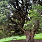 Tea trees have been harnessed for their medicinal strength by Aborigines for generations