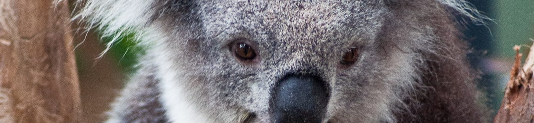 Koala at Healesville Sanctuary in the Yarra Valley-3