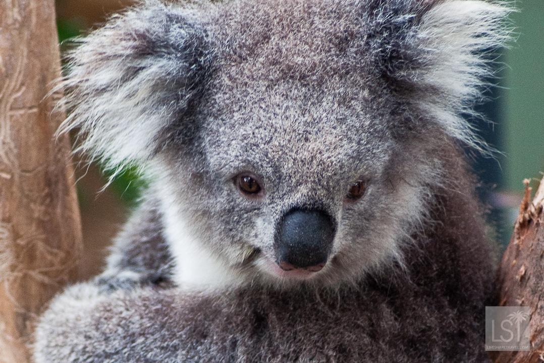 Koala at Healesville Sanctuary in the Yarra Valley-3