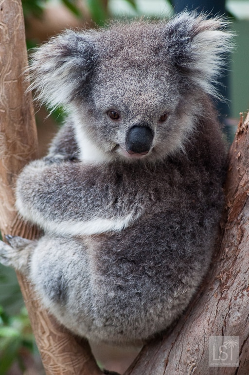 Koala at Healesville Sanctuary in the Yarra Valley