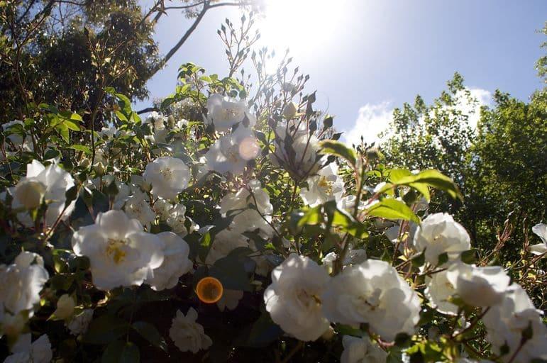 Roses are ever present in Morningon Peninsula gardens