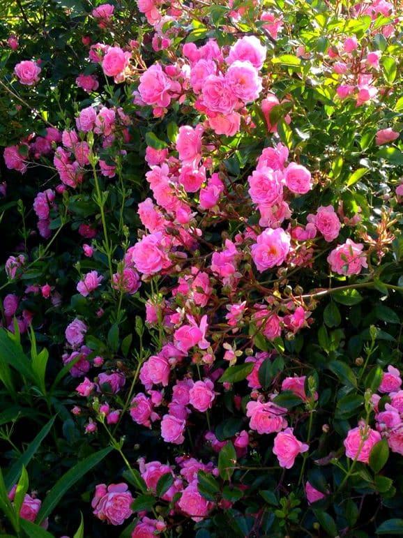 Roses at the Woodman Estate Hotel
