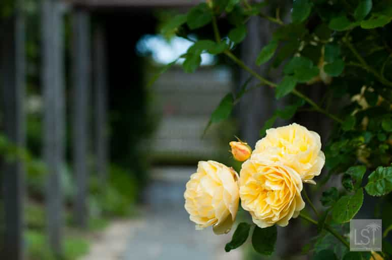 Roses growing on a pathway through Heronswood
