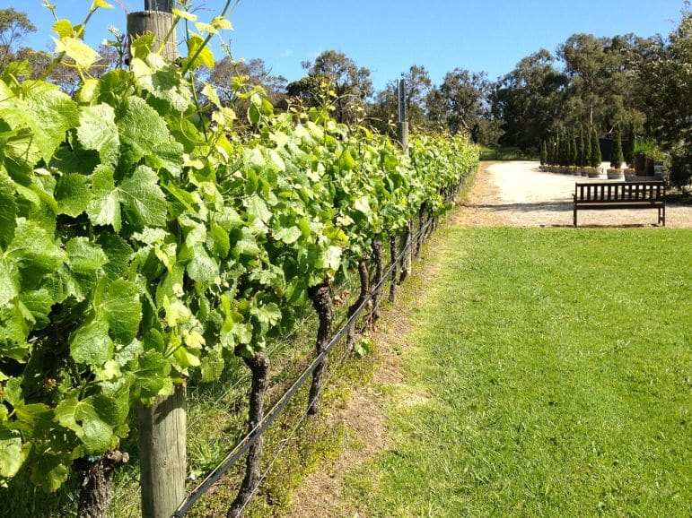 Vines growing at Crittenden Estate, Mornington Peninsula