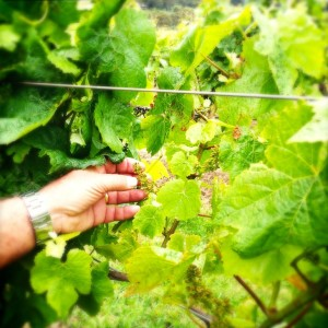 Vines at Montalto Vineyard & Olive Grove