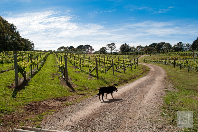Vineyards at Green Olive at Red Hill in Mornington Peninsula