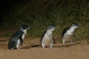 Win a holiday to Melbourne and see Phillip Island's Penguin Parade