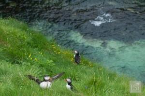 Nesting puffins on Staffa island