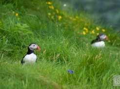 Puffins in Scotland: our favourite puffin pictures from Staffa Island