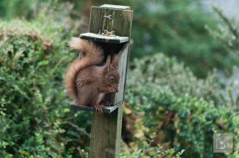 Red Squirrel at Melfort Village, Scotland