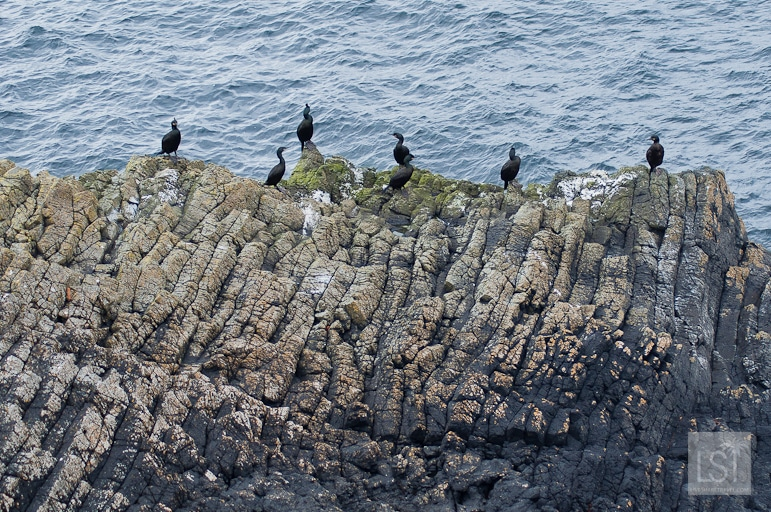 Shags on Staffa island, but we want the puffins