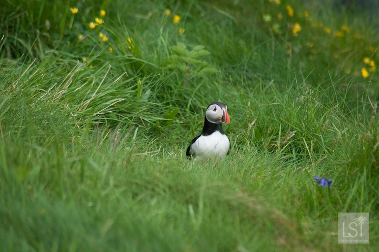 Where's my mates. Staffa island puffins