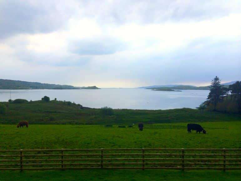 Cows in fields on the banks of Loch Melfort