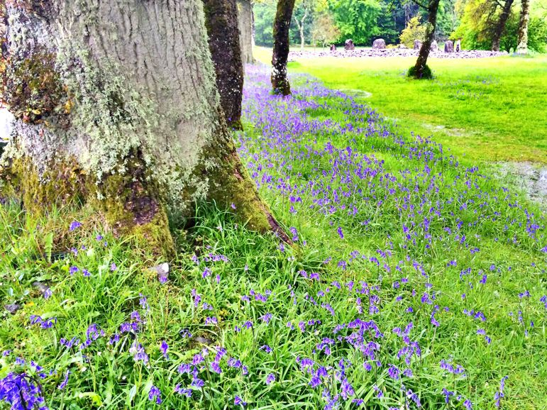 Pastures filled with bluebells near Loch Melfort western Scotland