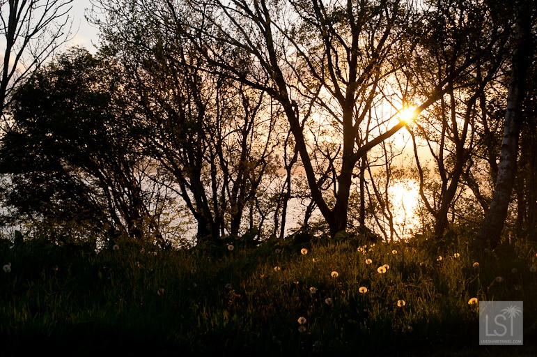 Sunset over Loch Melfort, western Scotland, the evening sunlight lighting up dandelions in the foreground