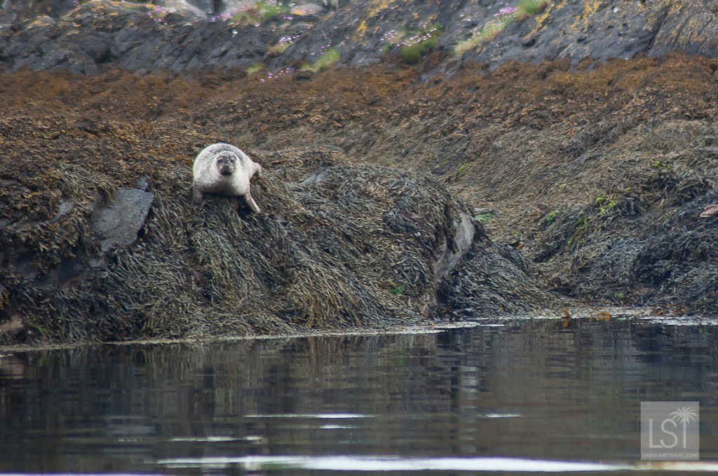 Seal taking a break from swimming in the Firth of Lorn