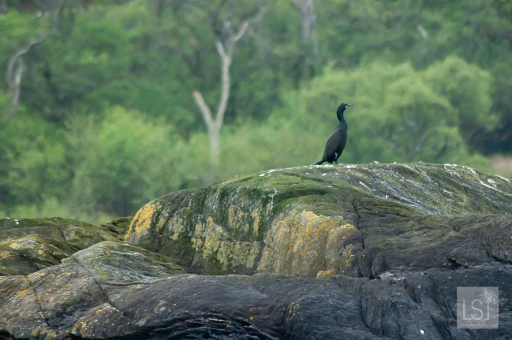 Shag on a rock in Scotland's Firth of Lorn