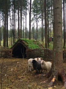 Sheep at Campus Galli, a project aiming to build a mediaeval monastery using all traditional methods