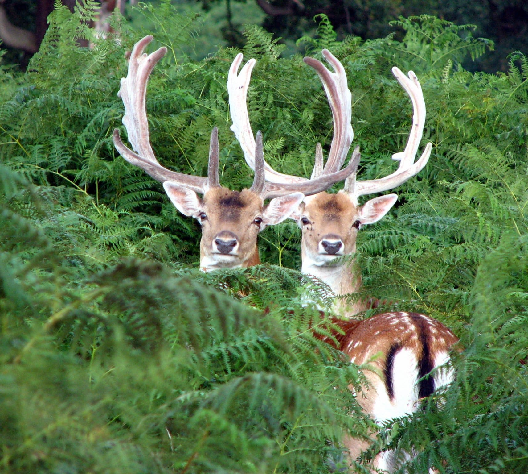 Yes, we have wild red deer in London - making Richmond Park one of the best places to go in London