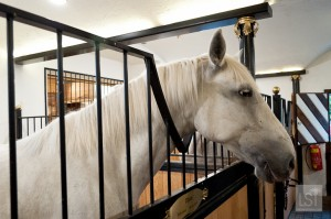 Lipizzaner horse at Bio-Hotel Stanglwirt