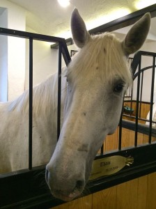 One of the white Lipizzaner horse at Bio-Hotel Stanglwirt