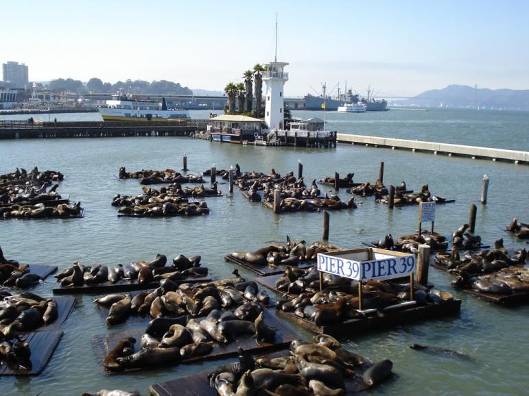 Pier 39's famous Sea Lions. Pic: Mollye Knox
