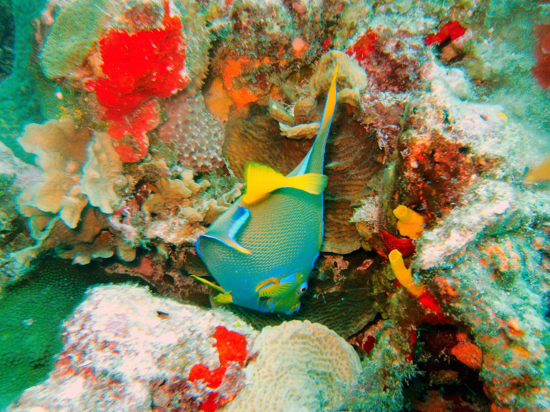 Angel fish - snorkeling is one of the best things to do in Cozumel | pic: Oblivious Dude